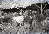 Men and oxen team at saw mill